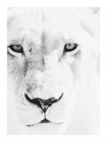 40x30in-Lioness