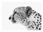 50x37.5in-Cheetah