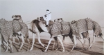 kd2-10-camel-train-dhs-gelatine-photograph-40x22-cms