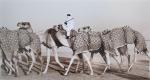 kd2-10-camel-train-dhs-gelatine-photograph-40x22-cms